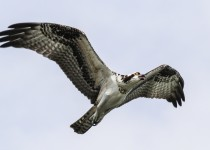 Osprey-flight-side-view
