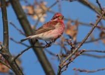 Purple_Finch5_Small