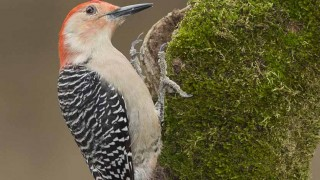 Red-bellied-Woodpecker-2