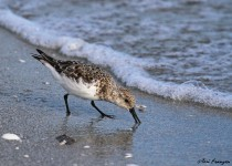 Sanderling3_Sgn_small