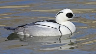 Smew, male, Sylvan Heights Waterfowl Park, North Carolina, photo by DickDaninels, Wikimedia Commons.