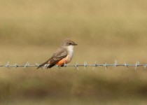 Vermilion-Flycatcher-female1