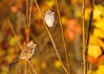 White-Crown-Sparrows