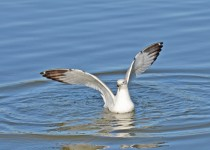 herring-gull-2