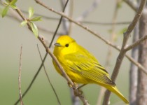 yellowwarbler1