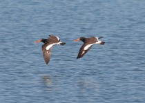 American-Oystercatcher-in-flight