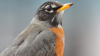 American Robin in Washington, DC, February 22, 2015, by Joshua Galicki.