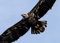 Bald-Eagle-in-Flight