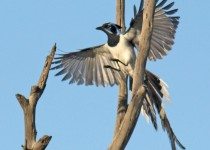 Black-throated-Magpie-Jay_6873