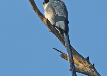 Black-throated-Magpie-Jay_6893