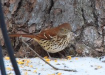 Brown-Thrasher-1
