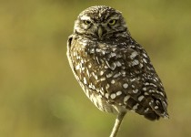 Burrowing-Owl-67RCScr
