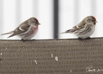 Common-redpolls-couple-web