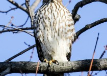 Coopers-Hawk-Staring-contest-copy