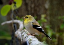 GoldFinch-1-of-1