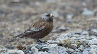 Gray-crowned-Rosy-Finch
