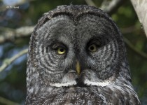 Great-Gray-Owl-portrait