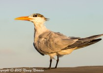 IMG_0301royal-tern-gcm