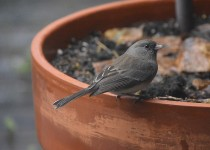 Junco_atDADs_POT_DSC3699
