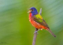 Painted-Bunting-2