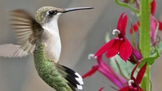 Ruby-throated Hummingbird_320x180