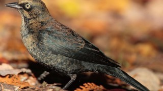 Rusty Blackbird in Algonquin Provincial Park, Canada, October 2006 (Wikimedia Commons).
