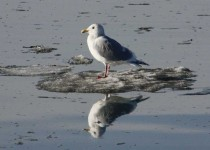 Thayers-Gull-on-ice-3-1