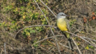Tropical-KingBird1
