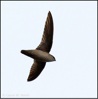 Vaux's Swift in Penticton, British Columbia, by Laure Wilson Neish.