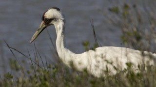 A Whooping Crane at Aransas National Wildlife Refuge in Texas. Photo by Steve Hillebrand/U.S. Fish and Wildlife Service