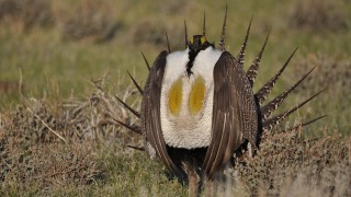 A male Greater Sage-Grouse struts at a lek near Bridgeport, California. Photo by