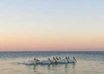 pelicans-color-5386