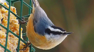 red-breasted-nuthatch-320