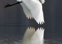 white_heron_color_8x12
