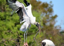 Wood Storks ©2014 Jessica Rowley