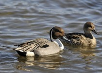 2015-03-12-pintails-1