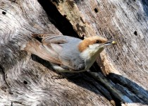 Brown-headed-Nuthatch1