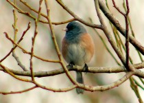 Dark-eyed-Junco_3680-copy