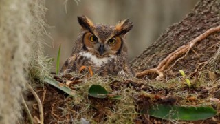 Great Horned Owl in St. Cloud, Florida, by Joshua Clark.