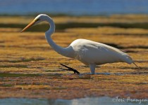 Great_Egret