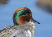 Green-winged-Teal-portrait