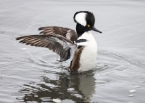 Hooded-Merganser-Male
