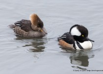 Hooded-Merganser-Pair-5
