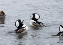 Hooded-Mergansers-Frolicking-Males