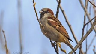 House-Sparrow1