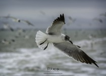 LaughingGull_CrystalBeach_March2015-1562B