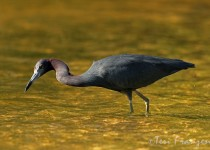 Little_Blue_Heron