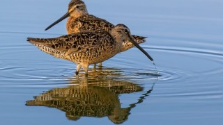 Long-billed Dowitchers at Piute Ponds in southern California, July 19, 2014, by Brent Bremer.
