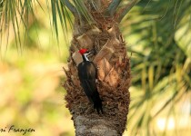 Male_Pileated