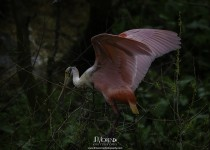 RoseateSpoonbill_CrystalBeach_March2015-2766